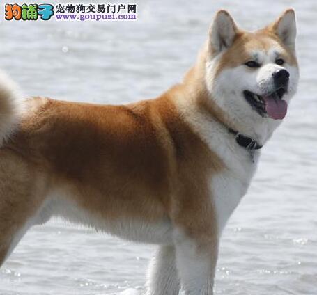 顶级纯种日系秋田犬人类最好的朋友低价出售