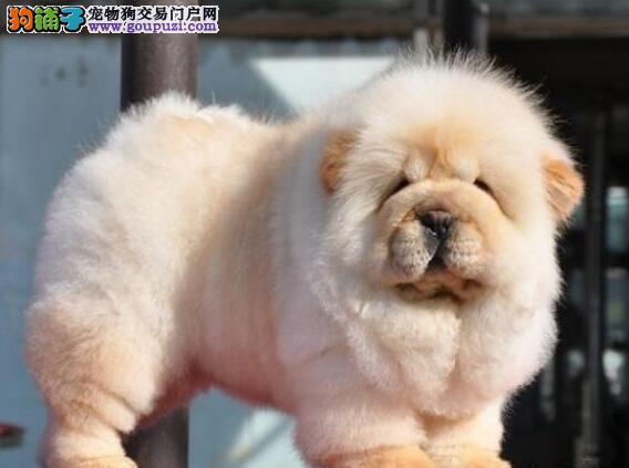 顶级松狮犬幼崽出售 多种颜色可选 包三个月免费退换