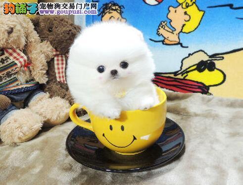 出售哈多利俊介茶杯体博美幼犬 合肥市内免费送货