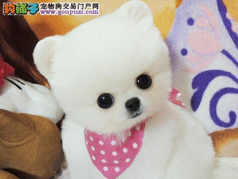 大型狗场直销优秀品质纯种哈多利版博美犬 武汉最低价