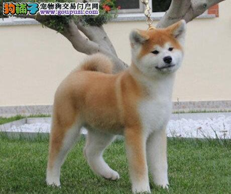 秋田犬CKU认证犬舍自繁自销期待您的咨询