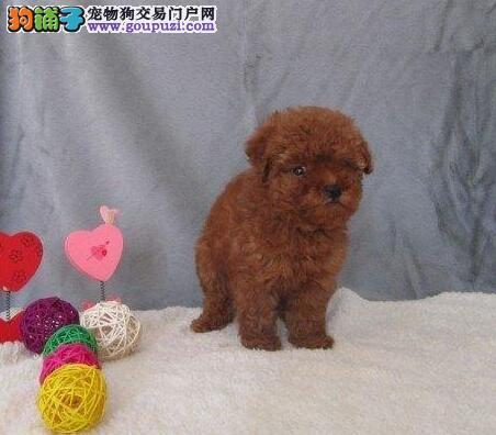 哪里能买到贵宾犬 纯种贵宾犬多少钱 迷你贵宾犬
