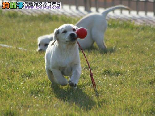 太原专业繁殖纯种拉拉幼犬可送拉布拉多上门签协议
