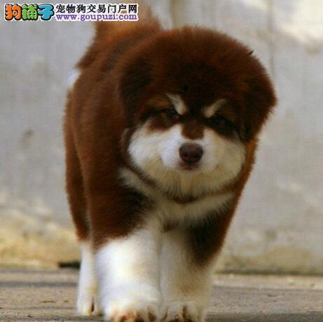 赛级黑十字脸阿拉斯加雪橇犬幼犬/冠军后代