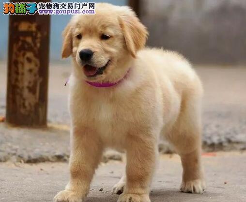 精品赛级血统的包头金毛犬找新家 上门选购可刷卡付款