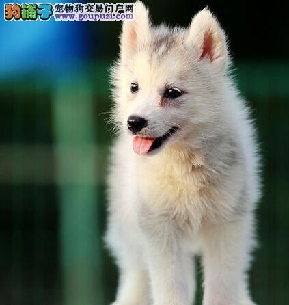 郑州正规犬舍出售哈士奇 蓝眼三把火包纯种3