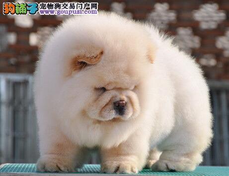 出售疫苗驱虫已做好的杭州松狮犬 请您放心选购