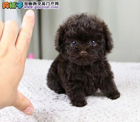 成都纯血统精品泰迪幼犬多窝出售公母均有 签保障协议