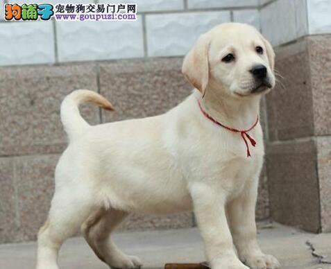 深圳精品拉布拉多犬证书齐血统纯正送用品签协议