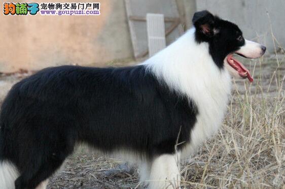 三亚繁殖基地出售多种颜色的边境牧羊犬终身质保终身护养指导