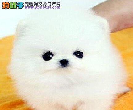 顶级品质博美犬深圳狗场低价出售 纯种哈多利版