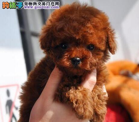 高品质韩系血统深圳贵宾犬出售 有意者可来犬舍购买