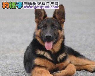 呼和浩特正规本地犬舍出售德国牧羊犬 签协议包养活