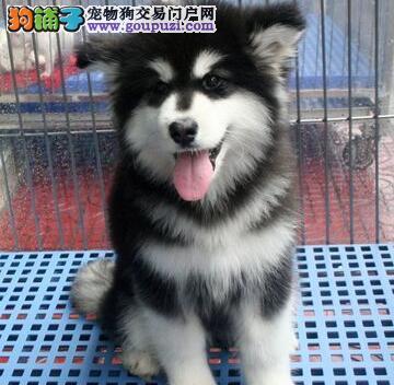 自家养殖纯种阿拉斯加犬低价出售赠送全套宠物用品