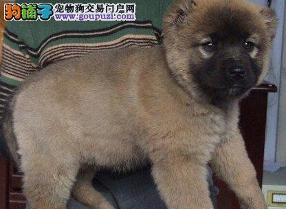 极品熊版俄系血统高加索犬深圳狗场直销 欢迎上门购买
