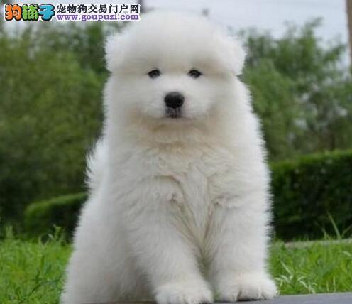 双眼皮乖巧可爱的太原萨摩耶幼犬优惠出售中 非诚勿扰