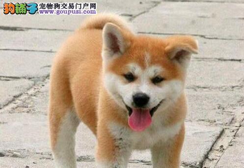 精品秋田犬幼犬多选择面大赛级冠赛品质保