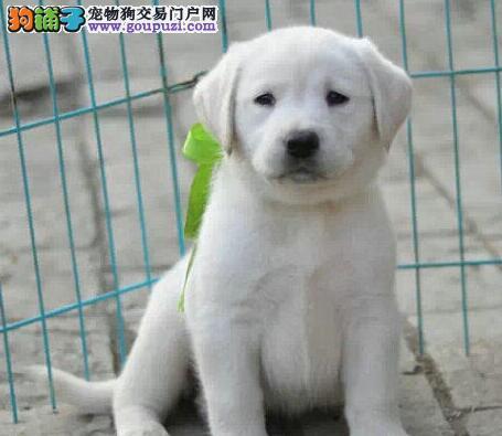 蚌埠自己繁殖赛级精品导盲犬拉布拉多 黑色奶油色