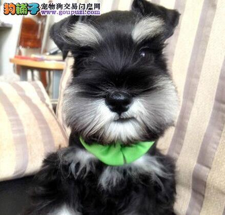杭州犬舍出售椒盐色深灰色的雪纳瑞幼犬 品相售后均包2