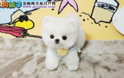 出售纯种球形的贵阳博美犬 签订三年质保购犬合同