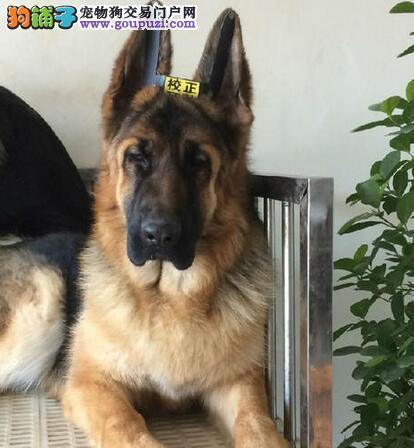 贵阳知名犬舍出售纯种健康的德国牧羊犬 放心选购