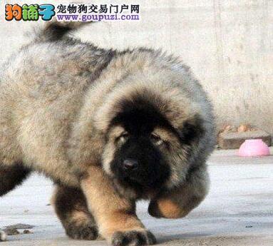 俄罗斯血系的贵阳高加索犬找新主人 随时上门看狗