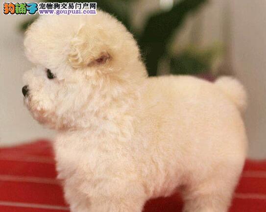 颜色好公母均有的泰迪犬找爸爸妈妈 南宁市内免费送货1