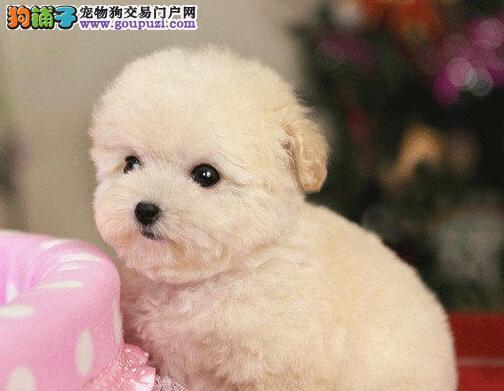 颜色好公母均有的泰迪犬找爸爸妈妈 南宁市内免费送货3