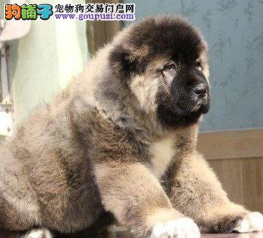 低价出售高品质武汉高加索犬购犬可赠送血统证书