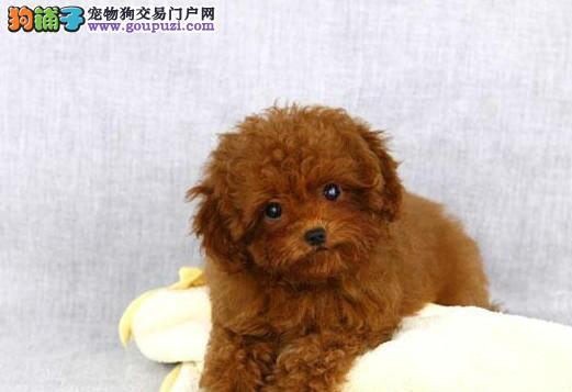 犬舍直销品种纯正健康三明贵宾犬最优秀的售后