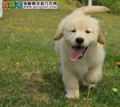 假一罚百 大头黄金猎犬纯正南京金毛犬直销价格出售