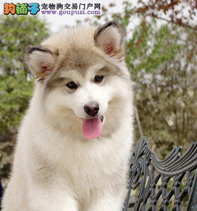 上海纯种健康阿拉斯加犬 可包退换质量更好售后签协议