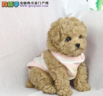杭州售精品泰迪犬 卷毛犬 泰迪熊玩具犬