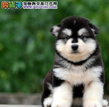 曲靖黑色十字脸巨型阿拉斯加幼犬纯种阿拉斯加雪橇犬