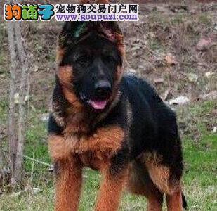 欢迎来贵阳实地购买优秀纯种锤系德国牧羊犬 价格优惠