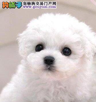 优秀可爱卷毛比熊犬直销价格出售 南京周边可免费送货2