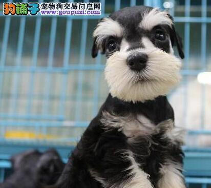 纯种可爱的济南雪纳瑞幼犬找爸爸妈妈 终身免费售后2