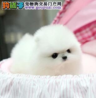 深圳纯种博美犬送狗上门全天视频看狗俊介犬幼犬品相好