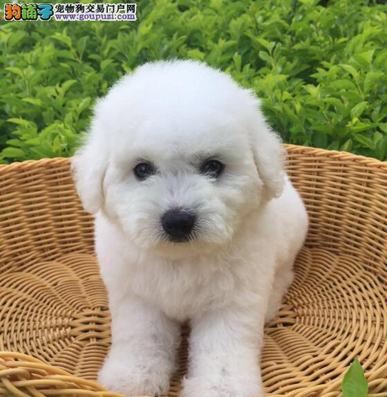 优秀可爱卷毛比熊犬直销价格出售 南京周边可免费送货3