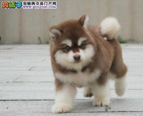 南京阿拉斯加雪橇犬价位 南京哪里有卖阿拉斯加幼犬