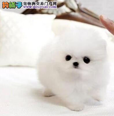 南京出售纯种聪明可爱博美幼犬 驱虫疫苗做完签订协议