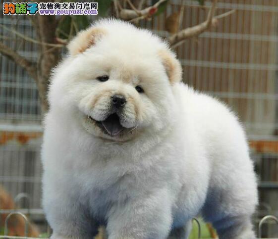 热销多只优秀的北京纯种松狮幼犬价格美丽品质优良