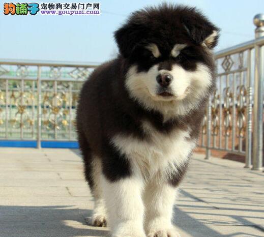 周口出售纯种巨型熊版阿拉雪橇犬赛级犬后代保纯签协议