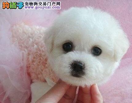 优秀可爱卷毛比熊犬直销价格出售 南京周边可免费送货