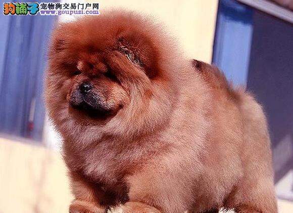 极佳品质的广州松狮犬找新家 2~6窝幼犬可供挑选