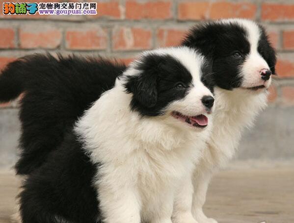 优雅敏捷的边境牧羊犬,正期待着爱他们的新主人到来