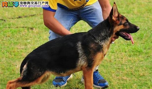 顶级优秀锤系宁波德国牧羊犬热销 可签订终身质保协议