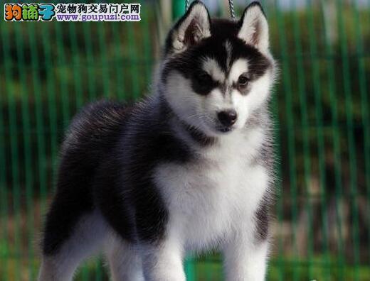 广州正规犬舍专业繁殖纯种双蓝眼三把火哈士奇犬品相好