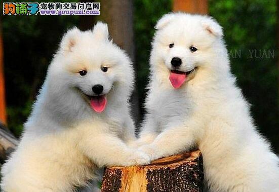 三亚犬舍直销澳版熊版萨摩耶幼犬赛级品质萨摩送用品