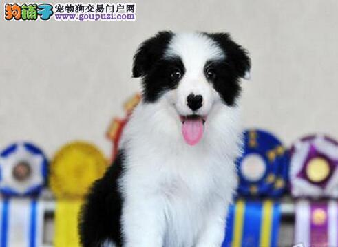 纯种齐白黑背边境牧羊犬,边境幼犬出售